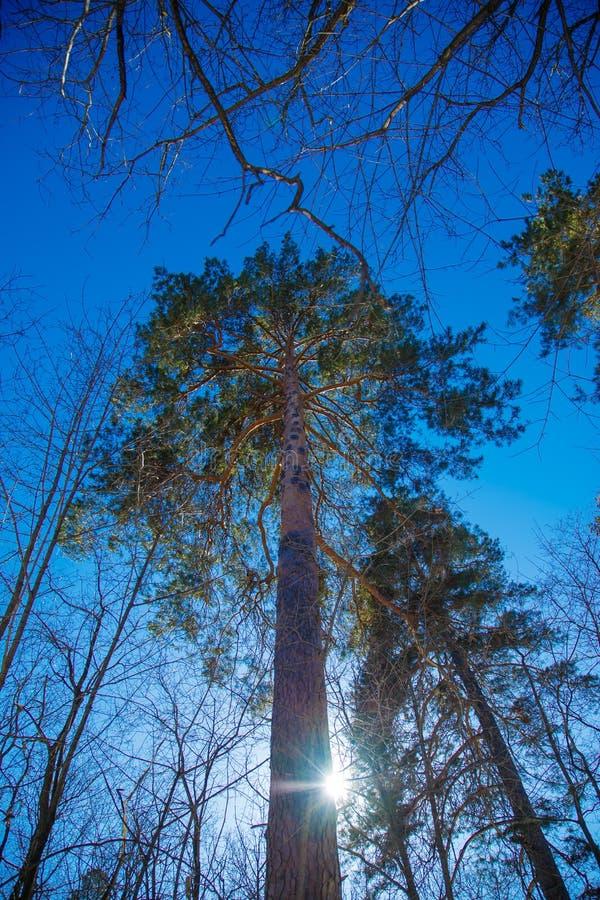 El sol a través de las ramas de los pinos imagen de archivo