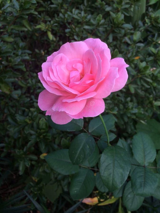 El solo color de rosa se levantó imagenes de archivo