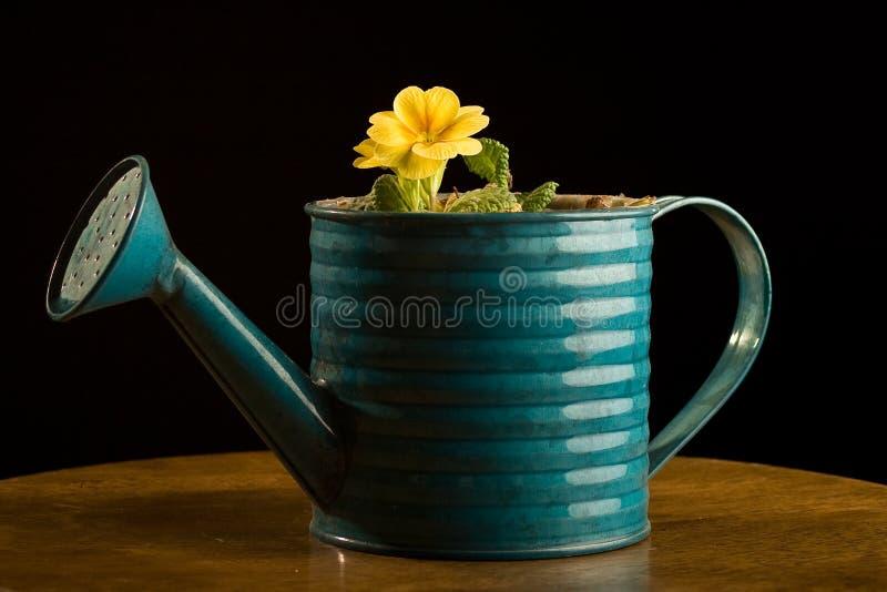 Download El Solo Crecimiento De Flor Amarillo En Wattering Puede. Imagen de archivo - Imagen de grading, verde: 7280219