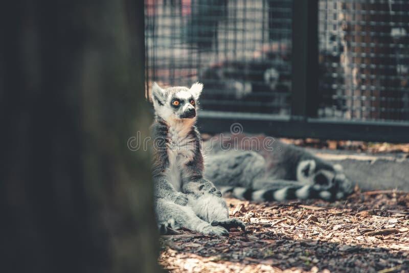 El solo lémur adulto se coloca para arriba de mirada de los turistas que rodean el animal salvaje en un parque zoológico fotografía de archivo