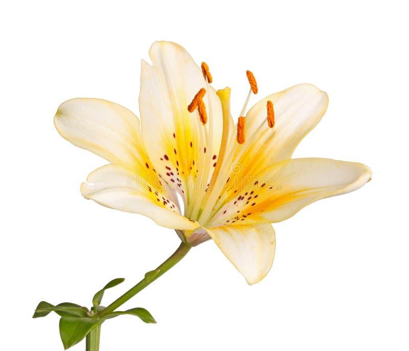El solo tronco con una flor amarilla brillante del lirio aisló imagen de archivo libre de regalías