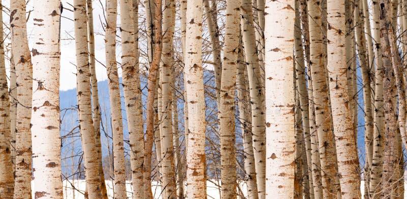 El soporte del alto contraste de árboles se cierra encima del detalle de la corteza de árbol fotografía de archivo