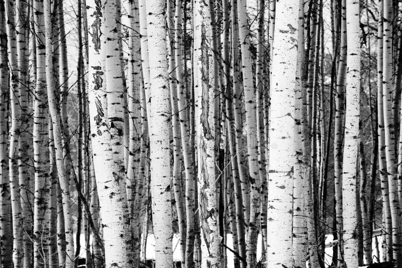 El soporte del alto contraste de árboles se cierra encima del detalle de la corteza de árbol foto de archivo