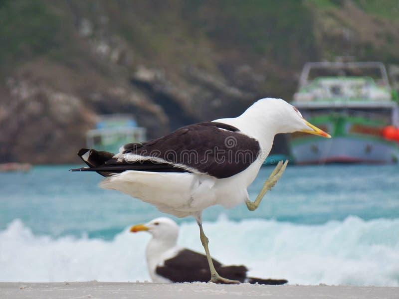 El soporte en la arena, Prainhas de la gaviota hace la playa de Pontal, Arraial hace Cabo fotografía de archivo