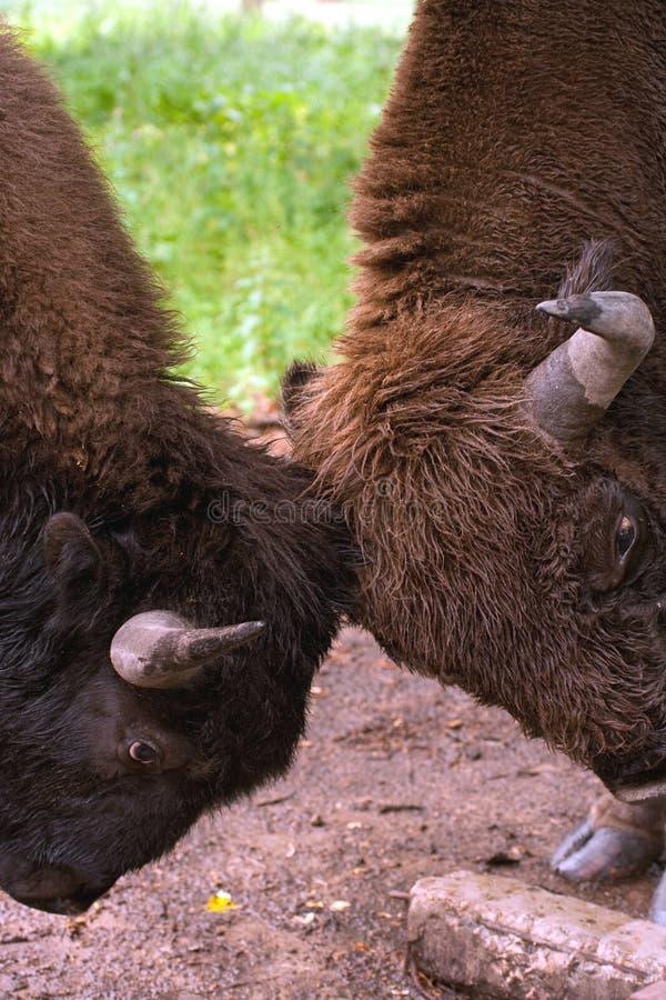 El Sparring del bisonte fotografía de archivo libre de regalías