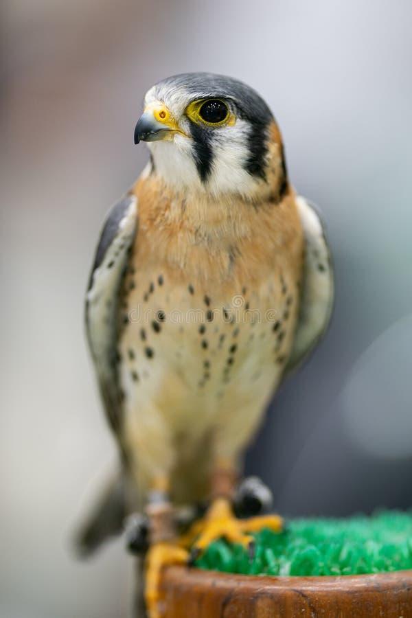 El sparverius americano de Falco del cernícalo es el halcón más pequeño foto de archivo