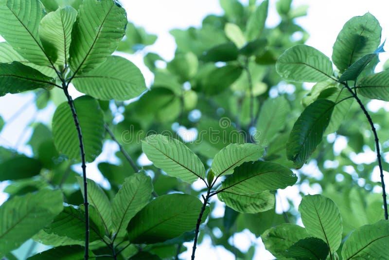 El speciosa Korth Kratom de Mitragyna es droga de la planta fotos de archivo libres de regalías