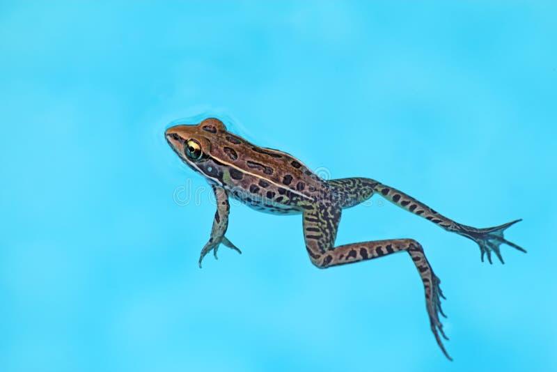El sphenocephala meridional del Rana de la rana de leopardo flota en una piscina fotos de archivo libres de regalías