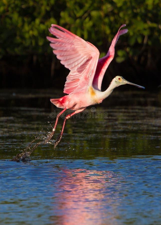 El Spoonbill rosado toma vuelo fotografía de archivo libre de regalías