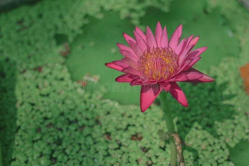 El stellata del Nymphaea o el lirio de agua con las aletas rosadas y el polen amarillo es una planta de agua con un tronco subter fotos de archivo