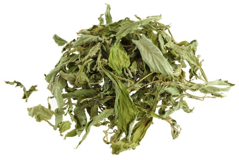 El Stevia secado se va (hoja dulce, la hoja del azúcar) imagen de archivo