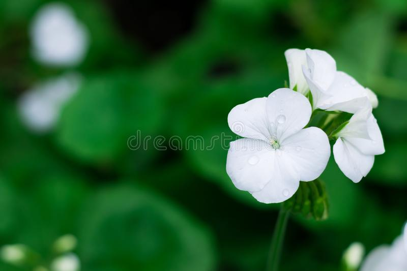 El Streptocarpus blanco florece en la plantación o el jardín o el parque del cultivo para la decoración la visión con el espacio  foto de archivo