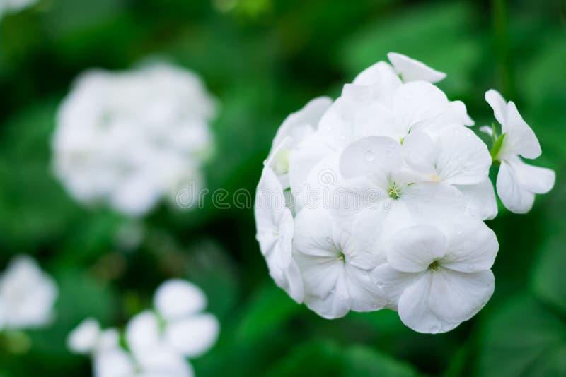 El Streptocarpus blanco florece en la plantación o el jardín o el parque del cultivo para la decoración la visión con el espacio  fotografía de archivo