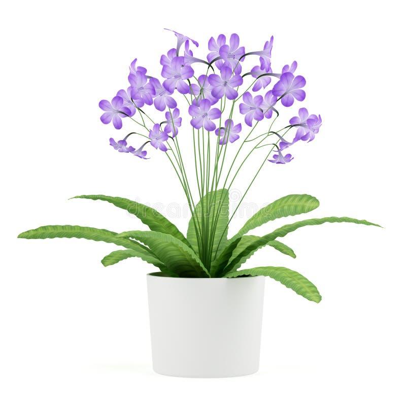 El streptocarpus púrpura florece en el crisol aislado en blanco stock de ilustración