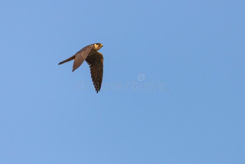 El subbuteo eurasiático de la afición o de Falco del pájaro depredador vuela en cielo azul fotografía de archivo libre de regalías