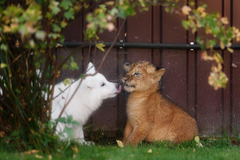 El suizo blanco Shepherds el cachorro del perrito y de león imagen de archivo libre de regalías