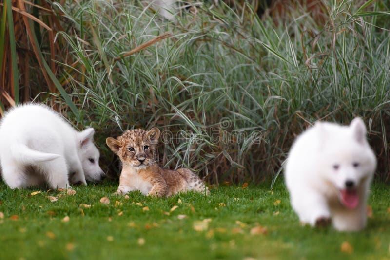 El suizo blanco Shepherds el cachorro del perrito y de león fotos de archivo libres de regalías