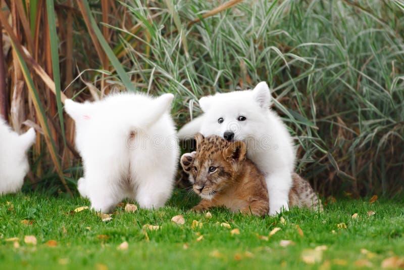 El suizo blanco Shepherds el cachorro del perrito y de león foto de archivo libre de regalías