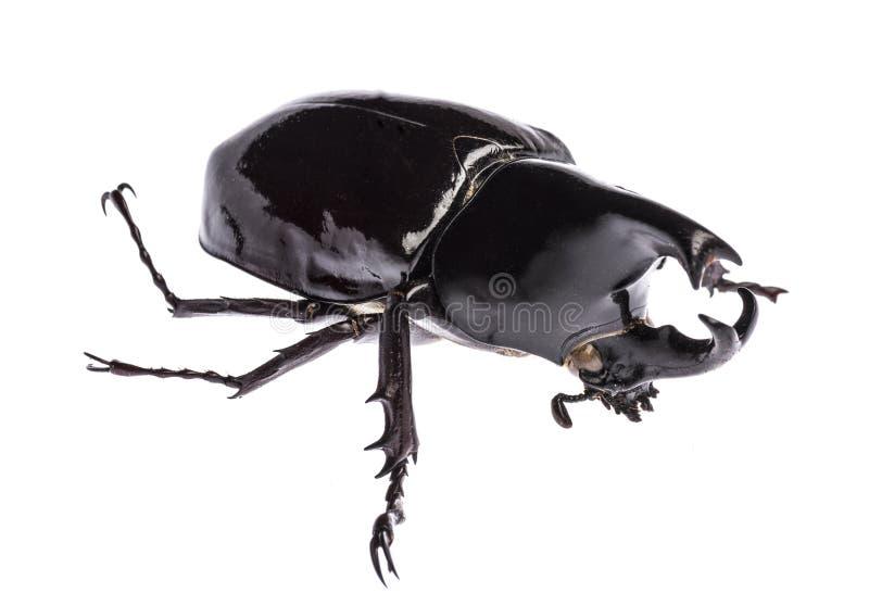 El sumatrensis del gideon de Xylotrupes del escarabajo de rinoceronte aisló fotos de archivo libres de regalías