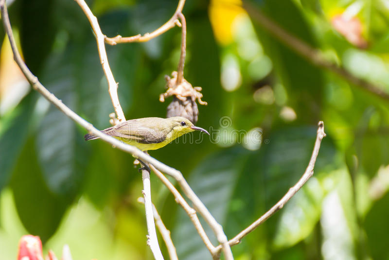 El sunbird negro verde oliva foto de archivo libre de regalías