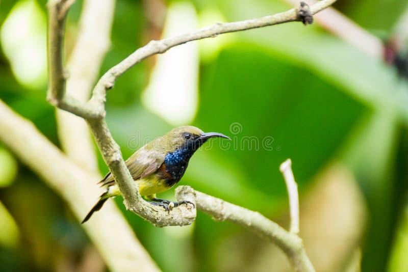 El sunbird negro verde oliva fotografía de archivo