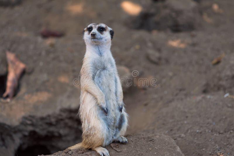 El Suricata de Meerkat se coloca cerca de su guarida en el parque zoológico de San Diego en California imagenes de archivo
