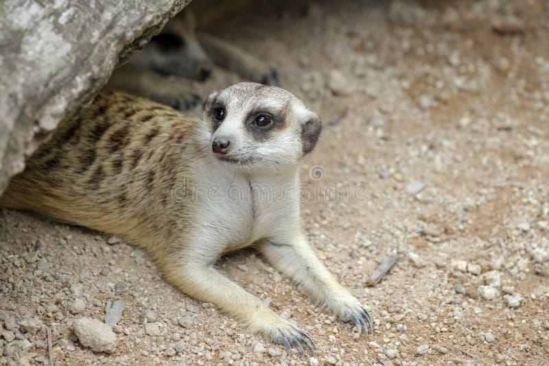 El suricatta o el meerkat del Suricata en cueva fotografía de archivo libre de regalías