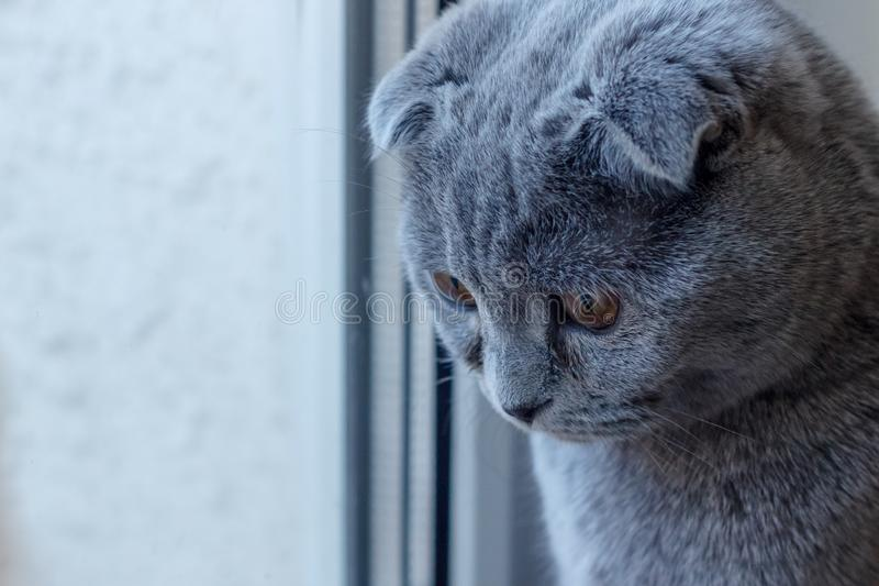 El swiney británico triste del gato mira abajo en el piso imágenes de archivo libres de regalías