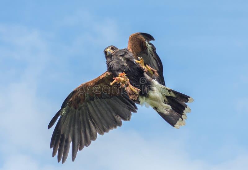 El swooping de Harris Hawk fotografía de archivo libre de regalías