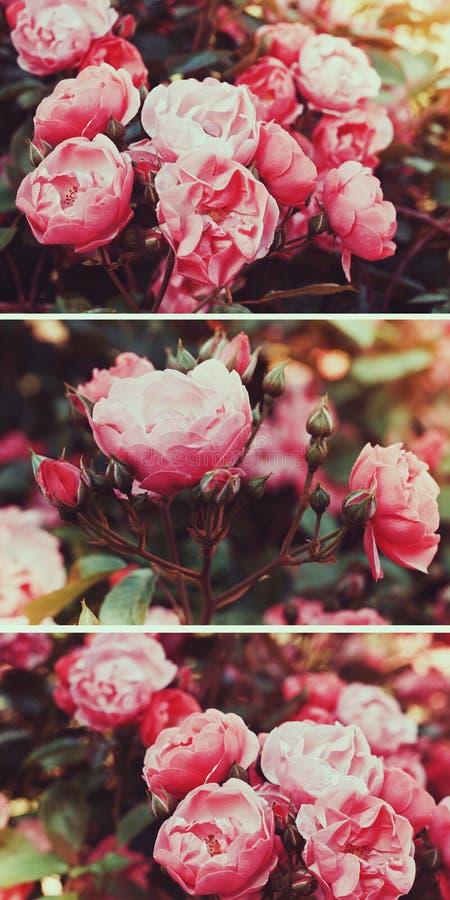 El té rosado de los arbustos subió en un efecto de la película del vintage con el tono fotos de archivo libres de regalías