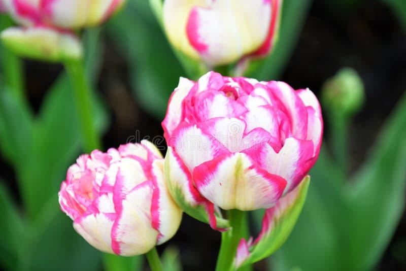 El tacto doble es una clase de tulipán doble imágenes de archivo libres de regalías