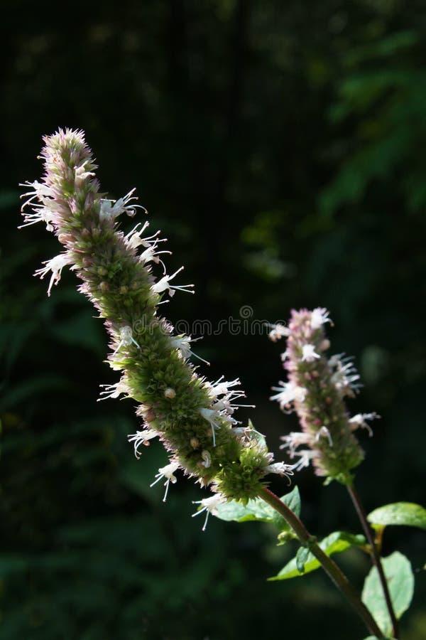 El tallo de flor descolorado del burnet hizo excursionismo contra un fondo oscuro fotos de archivo libres de regalías