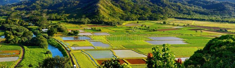El taro coloca en el valle hermoso de Hanalei en Kauai foto de archivo libre de regalías