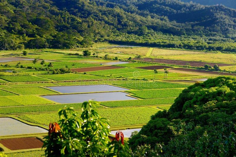 El taro coloca en el valle hermoso de Hanalei en Kauai imagenes de archivo