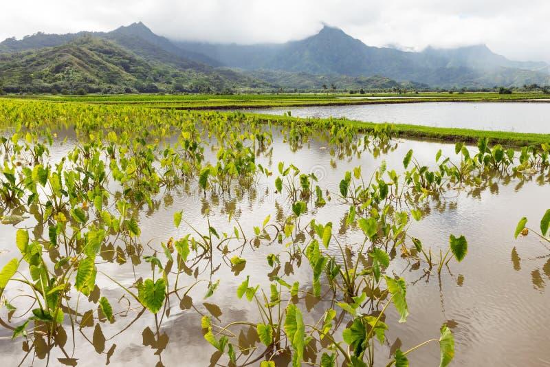 El taro coloca el valle Kauai Hawaii del hanalei fotografía de archivo