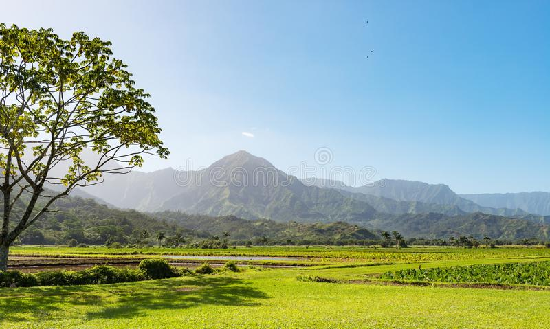 El taro coloca el valle Kauai Hawaii del hanalei imagen de archivo