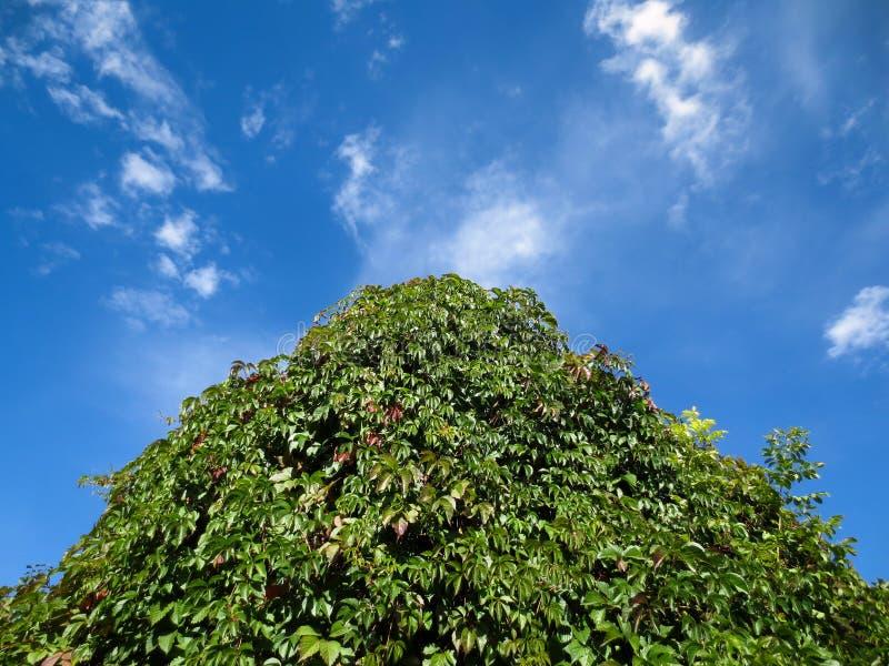 El tejado se crece demasiado con las uvas salvajes debajo del cielo azul imagenes de archivo