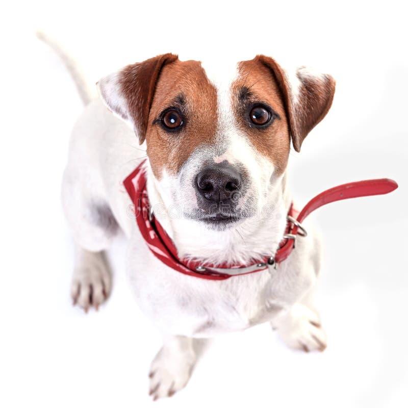 El terrier de Russell del enchufe del perro que se sienta en el fondo blanco fotografía de archivo