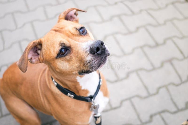 El terrier de Staffordshire joven, hermoso, americano con el dueño pasa un día en el parque y jugar fotografía de archivo libre de regalías