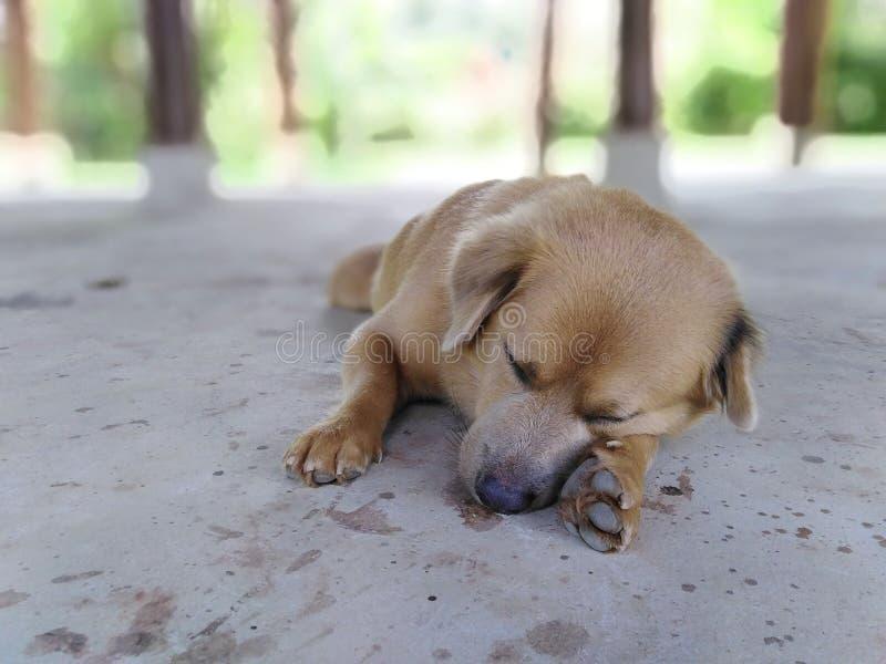 El terrier galés ayuna dormido foto de archivo libre de regalías
