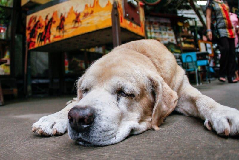 El terrier galés ayuna dormido fotografía de archivo