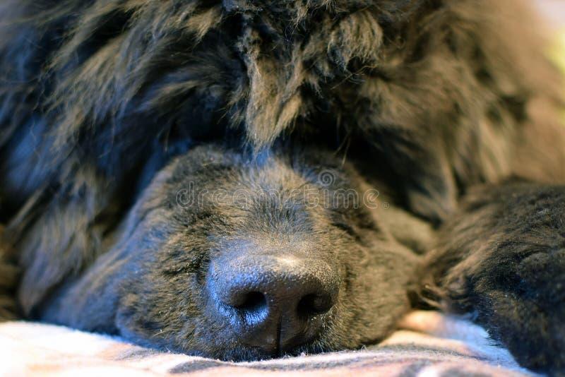 El terrier galés ayuna dormido fotografía de archivo libre de regalías