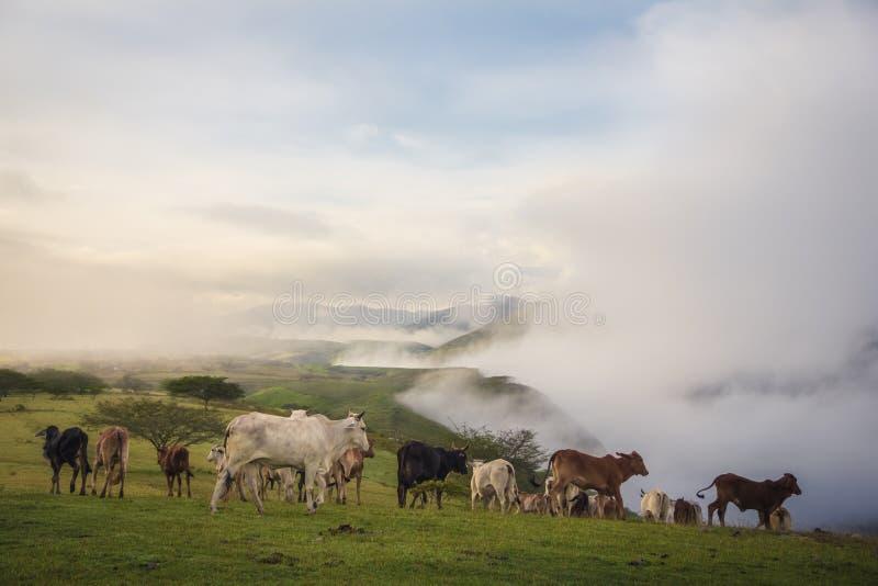 El territorio de los toros. Un grupo de vacas y toros buscan un sitio tranquilo donde pastar en la mañana stock photography