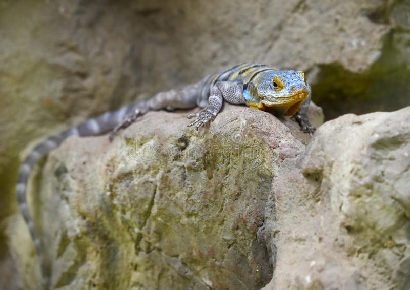 El thalassinus de Petrosaurus del lagarto de la roca azul de Baja foto de archivo