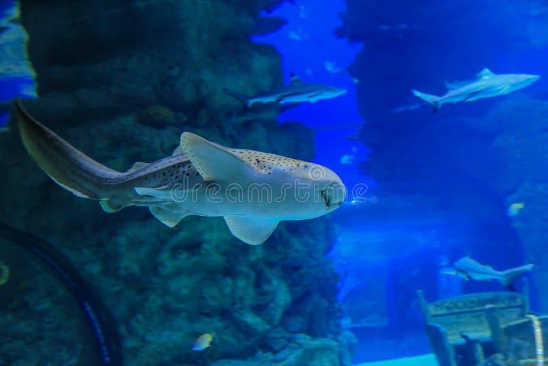 El tiburón de la cebra nada contra coral foto de archivo
