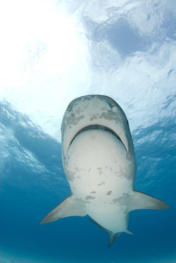 El tiburón de tigre nada por encima foto de archivo
