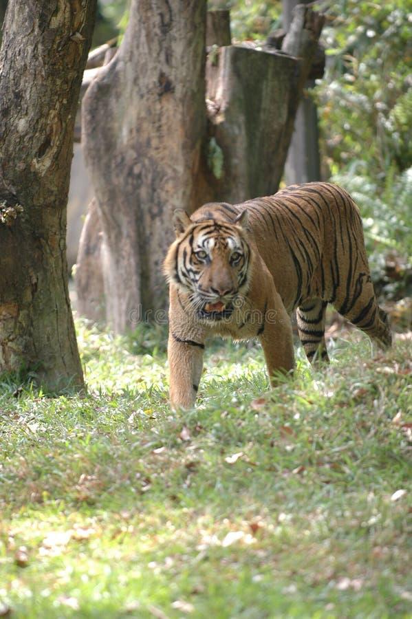 El tigre ardiente foto de archivo