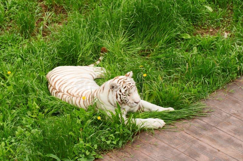 El tigre blanco miente en una hierba verde fotografía de archivo libre de regalías