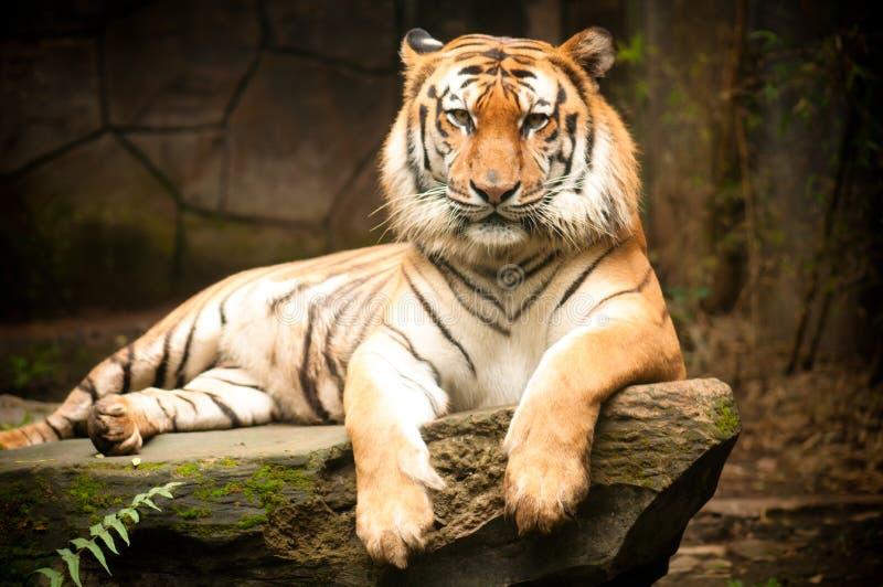 El tigre de Bengala foto de archivo libre de regalías