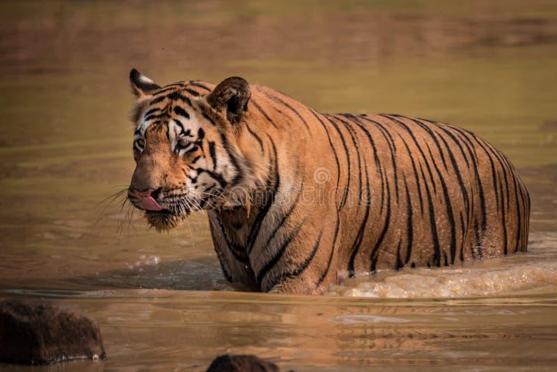 El tigre de Bengala vadea a través del agujero de agua fangoso foto de archivo libre de regalías